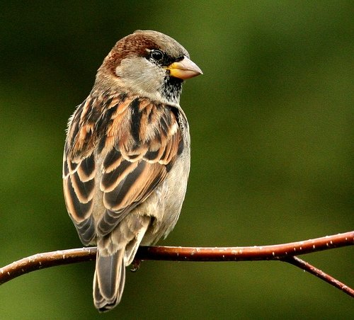 my favourite bird sparrow essay help