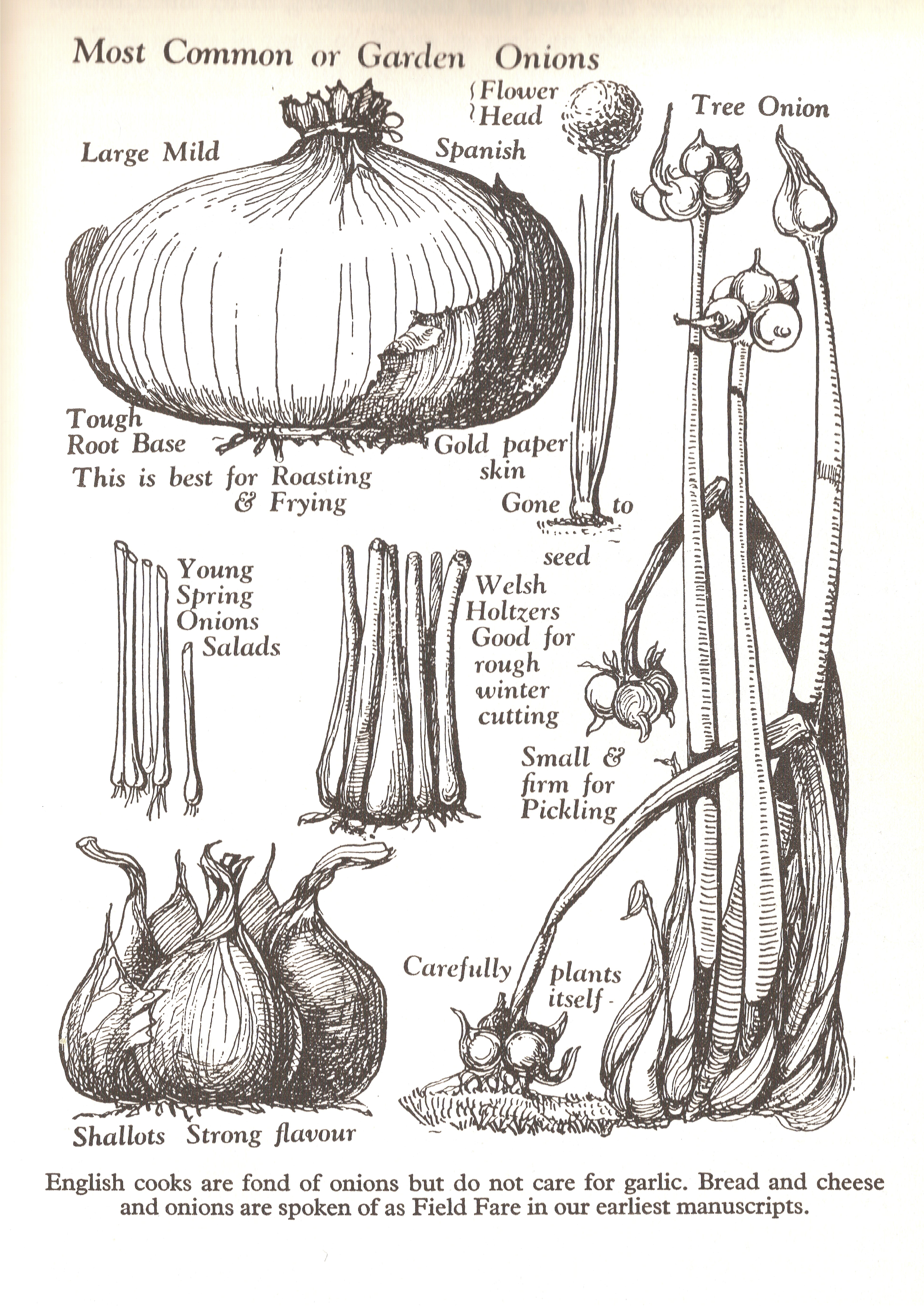 Vegetables british food a history - Unknown uses for an onion ...