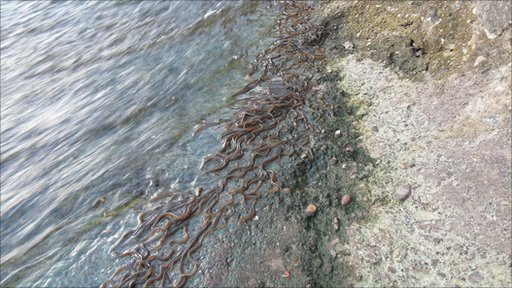 elvers in the Severn