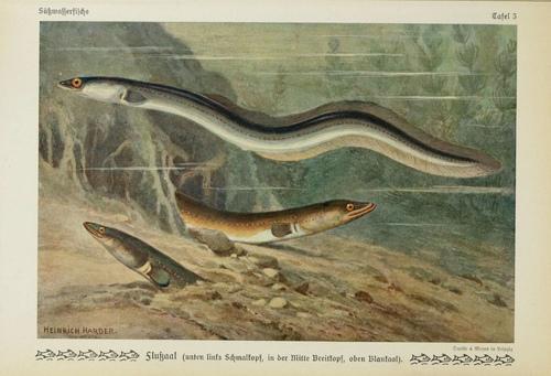 german eel