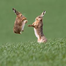 brown hares - telegraph