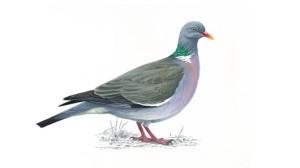 woodpigeon_rsbp